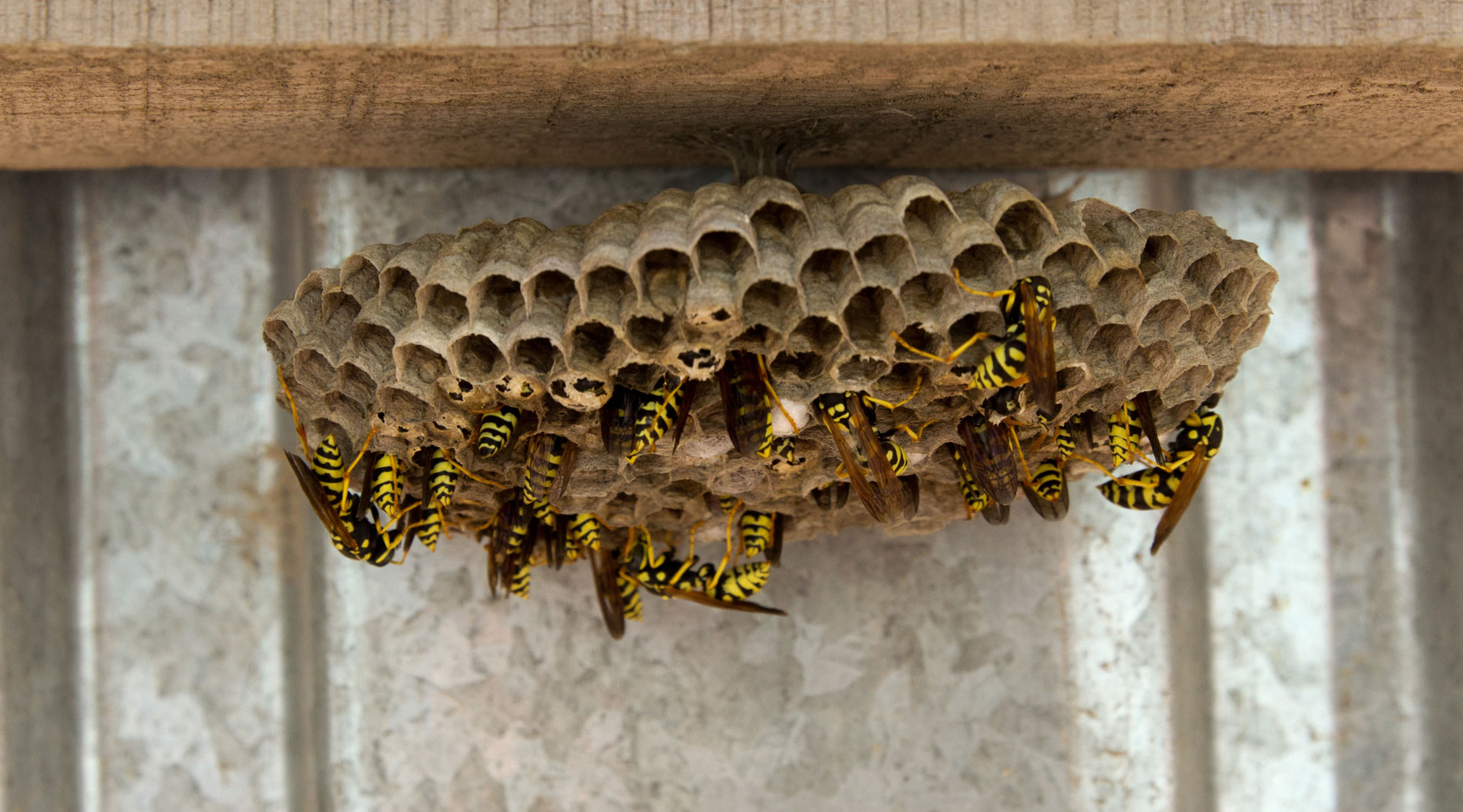 Bees in a nest