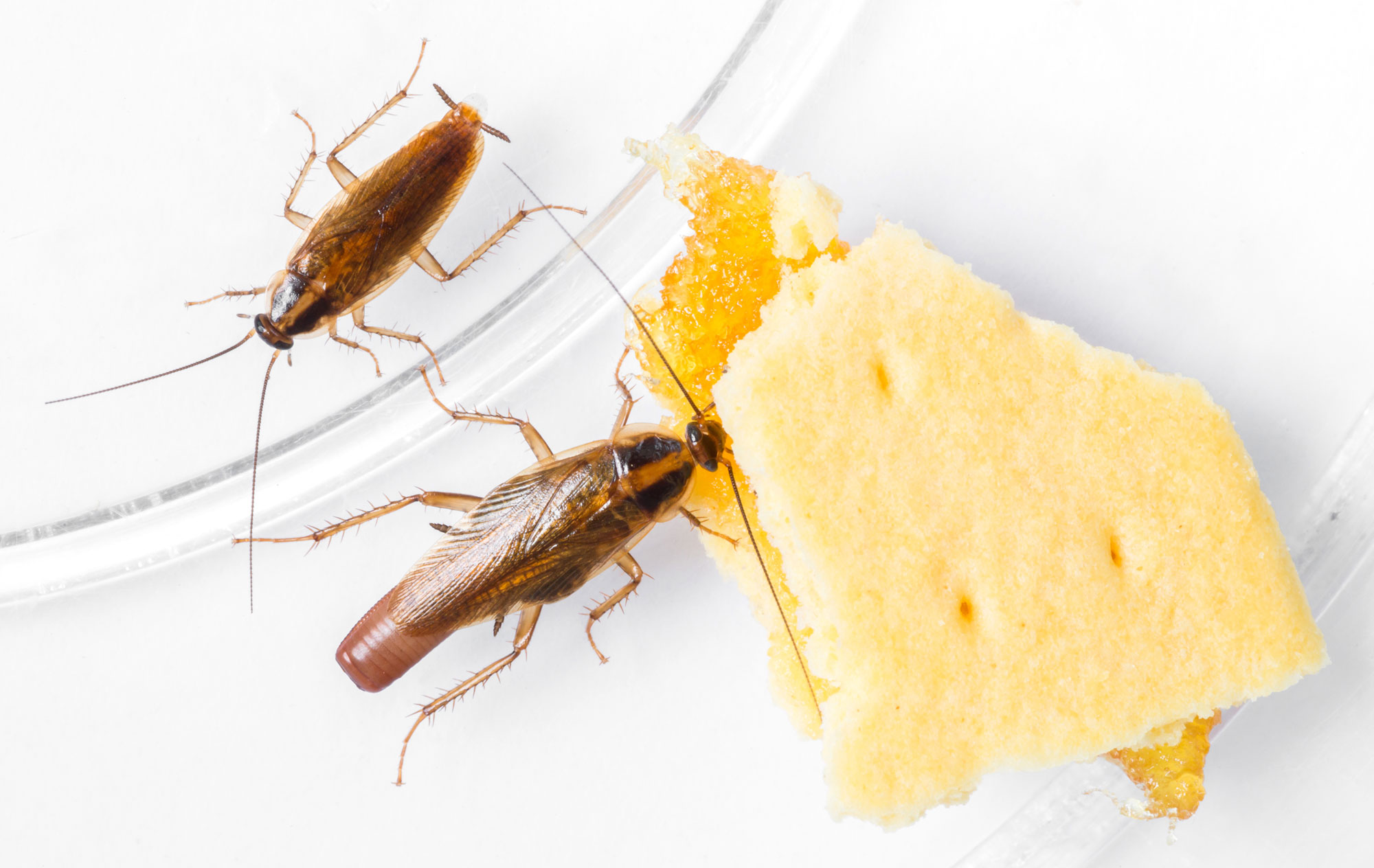 Image result for Pest Control for Cockroach